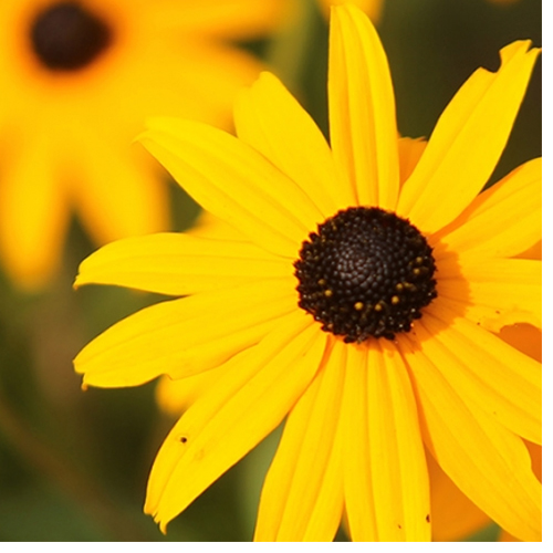 Flower of black-eyed susan