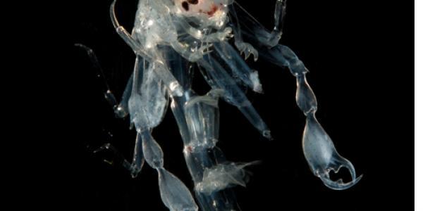 UNCW Alumna Discovers Crustacean Camouflage