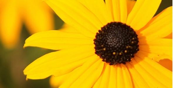 Flower of black-eyed susan